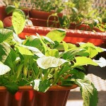家庭菜園を始めよう! 初心者さんにおすすめの野菜とは?