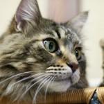 見た目はおおきく貫禄が、だけど性格は温厚でかわいい猫のメインクーンを知ってほしい!!